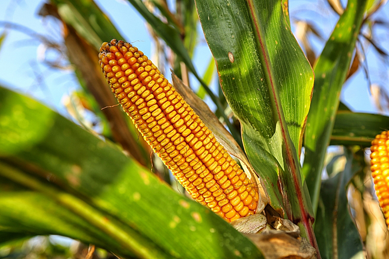 Investigadores han conseguido producirnanocristales de celulosa a partir de residuos de maíz.