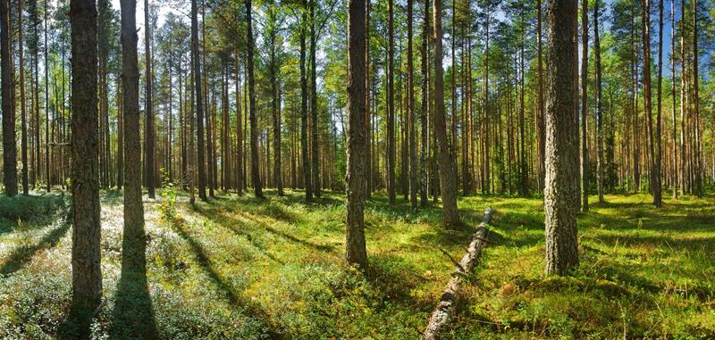 bosque donde se extrae la madera
